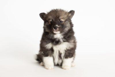puppy278 week7 BowTiePomsky.com Bowtie Pomsky Puppy For Sale Husky Pomeranian Mini Dog Spokane WA Breeder Blue Eyes Pomskies Celebrity Puppy web6