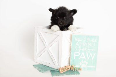 puppy280 week7 BowTiePomsky.com Bowtie Pomsky Puppy For Sale Husky Pomeranian Mini Dog Spokane WA Breeder Blue Eyes Pomskies Celebrity Puppy web1