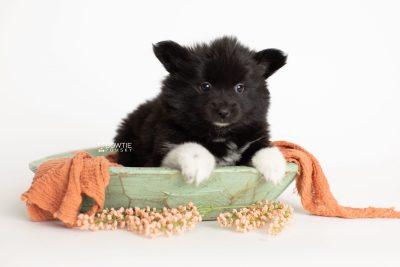 puppy280 week7 BowTiePomsky.com Bowtie Pomsky Puppy For Sale Husky Pomeranian Mini Dog Spokane WA Breeder Blue Eyes Pomskies Celebrity Puppy web2
