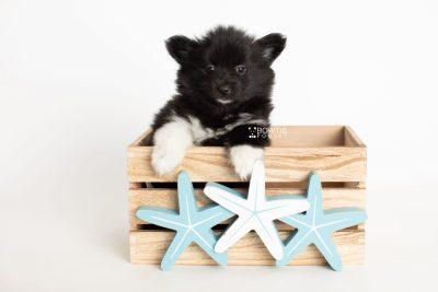 puppy280 week7 BowTiePomsky.com Bowtie Pomsky Puppy For Sale Husky Pomeranian Mini Dog Spokane WA Breeder Blue Eyes Pomskies Celebrity Puppy web3