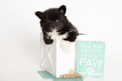 puppy281 week7 BowTiePomsky.com Bowtie Pomsky Puppy For Sale Husky Pomeranian Mini Dog Spokane WA Breeder Blue Eyes Pomskies Celebrity Puppy web1