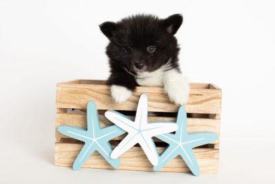 puppy281 week7 BowTiePomsky.com Bowtie Pomsky Puppy For Sale Husky Pomeranian Mini Dog Spokane WA Breeder Blue Eyes Pomskies Celebrity Puppy web3