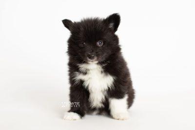 puppy281 week7 BowTiePomsky.com Bowtie Pomsky Puppy For Sale Husky Pomeranian Mini Dog Spokane WA Breeder Blue Eyes Pomskies Celebrity Puppy web6