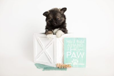 puppy282 week7 BowTiePomsky.com Bowtie Pomsky Puppy For Sale Husky Pomeranian Mini Dog Spokane WA Breeder Blue Eyes Pomskies Celebrity Puppy web1