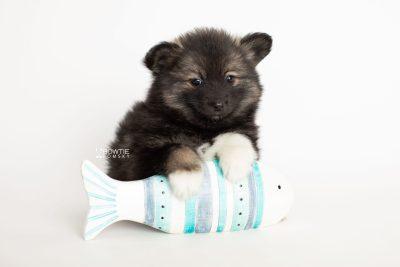 puppy282 week7 BowTiePomsky.com Bowtie Pomsky Puppy For Sale Husky Pomeranian Mini Dog Spokane WA Breeder Blue Eyes Pomskies Celebrity Puppy web5