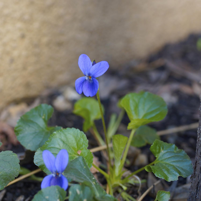 cum pot preveni picioarele neliniștite ce înseamnă venele albastre și violete