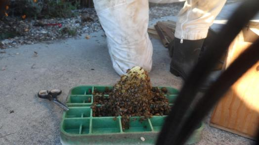 Honey Bee Removal from Meter Boxes - Suzi and the Queen Team