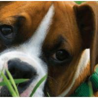 Λιπώματα στα σκυλιά-αίτια,ολιστικές θεραπείες