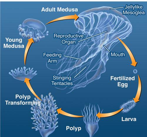 how do box jellyfish reproduce