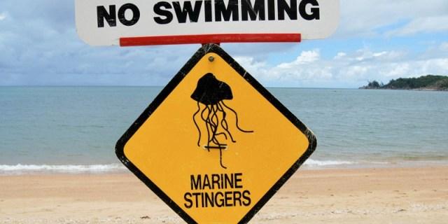 box jellyfish season