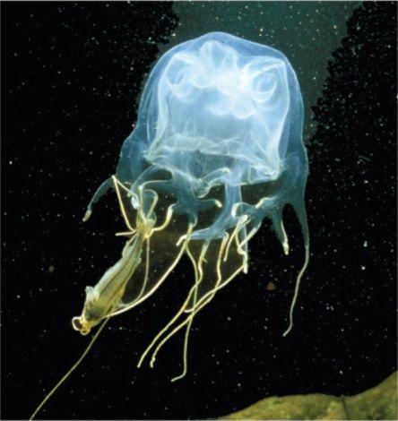 What do box jellyfish eat