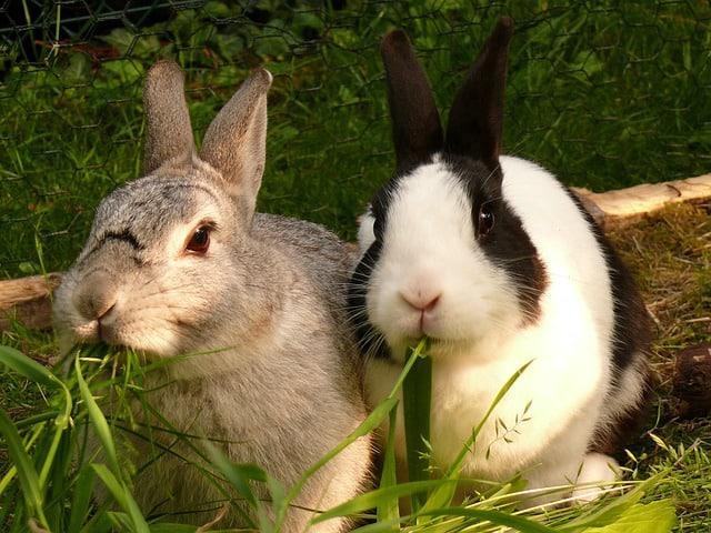 กระต่ายกินอะไรเป็นอาหาร
