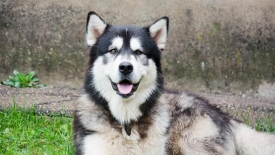 วิธีดูแลสุขภาพสุนัขพันธุ์อลาสกัน มาลามิวท์ สำหรับมือใหม่
