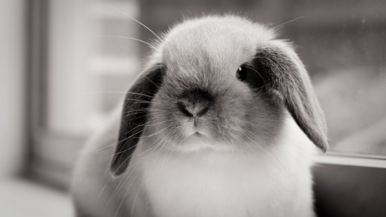 วิธีเลี้ยงกระต่ายฮอลแลนด์ลอปเพื่อน้องกระต่ายมีสุขภาพดีและอยู่กับคุณได้อย่างยาวนาน