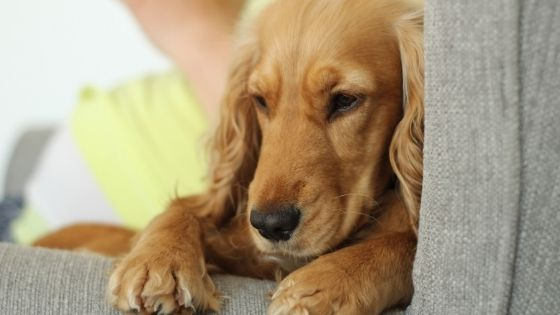 หมาท้อง มีน้ำไหลออกมา สัญญาณเตือนก่อนคลอดหรือเสี่ยงแท้ง?