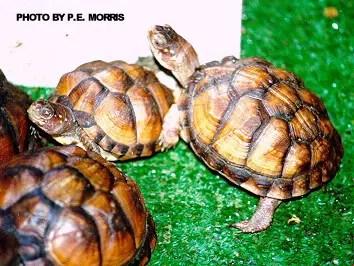 Three Box Turtle Hatchlings