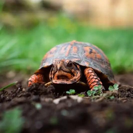 Red box turtle in garden - Kopie