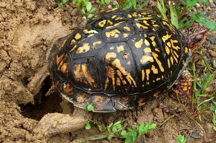 Western Ornate box turtle laying eggs