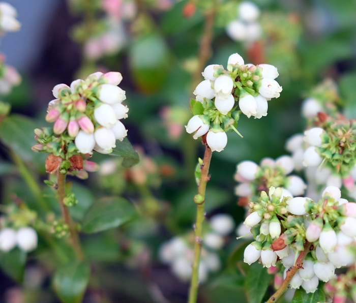 Boxy Colonial Spring Home Tour--blueberry blossoms