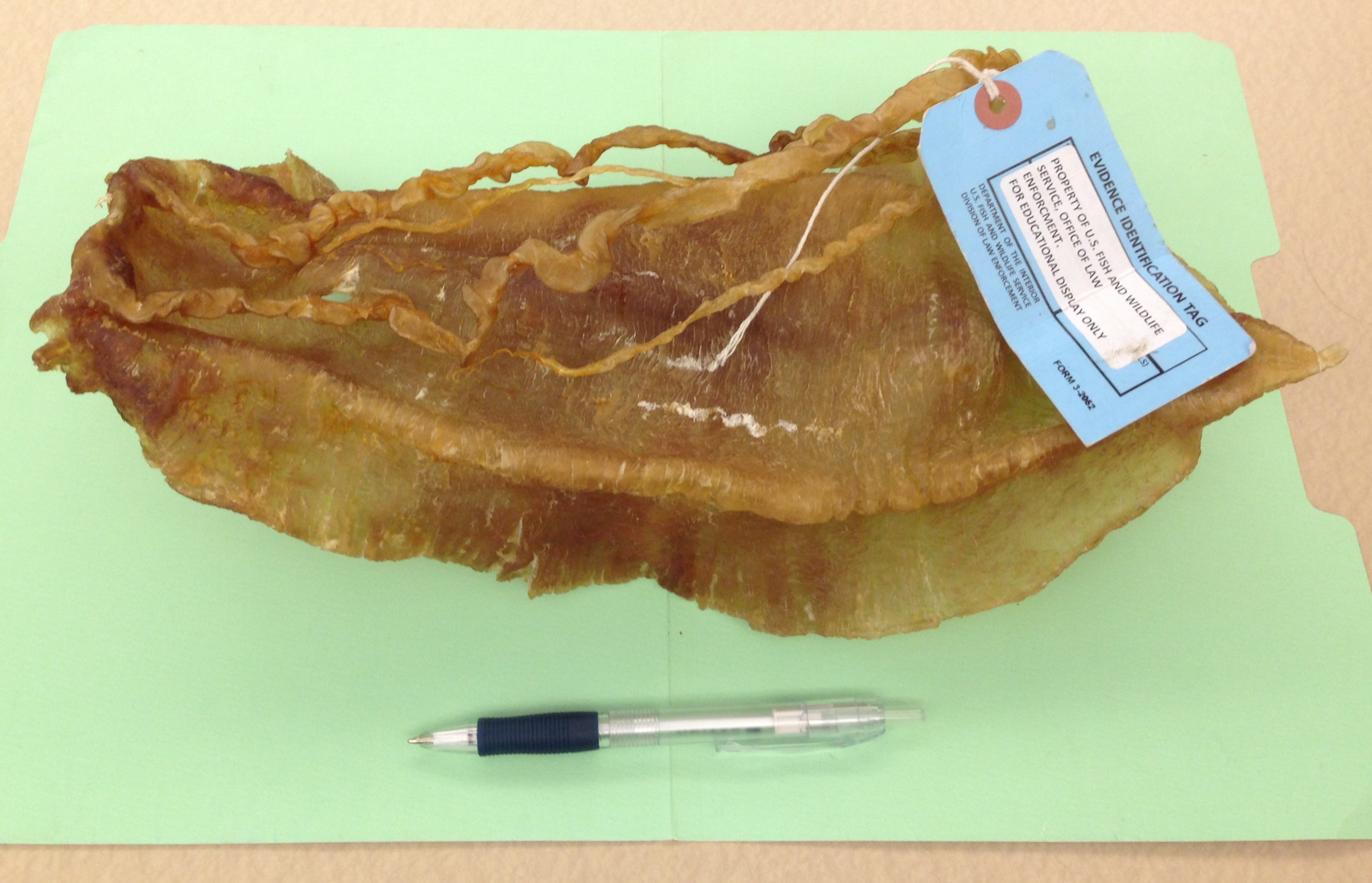 Photo of Totoaba Bladder