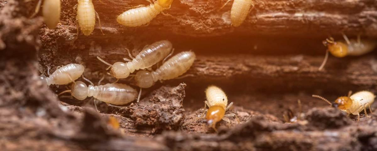 Termite hatchlings in Boynton Beach, Florida