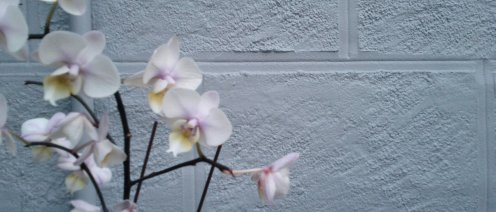 Came across a couple of discarded orchids against a blue-green wall on Douglass and 20th, and thought they made nice tableaux.
