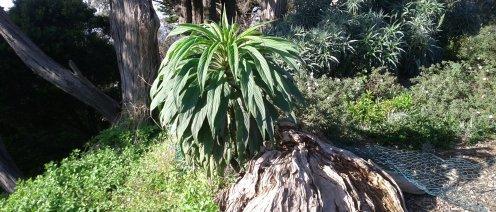 A giant biennial echium in its first year.