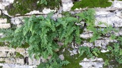 Ferns in the granite walls along the Main Road.