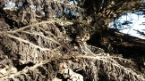 A fallen Monterey Cypress had turned black. Quite pretty, really.