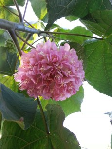Big pink balls swinging in the breeze. The flowers of Dombeya wallichii.