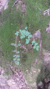 Diminutive Maidenhair Ferns.