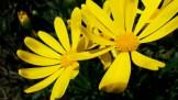 Vivid yellow of a daisy bush.