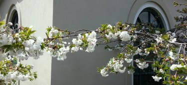 Flowering cherries juxtaposed with the corner of the Forest Hill Muni station.