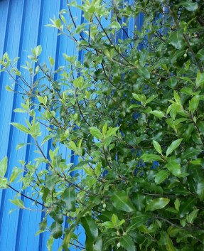 Me and my love of blue. Don't you just love the way it sets off the color of this Pittosporum? Below Tank Hill on Belgrave St.
