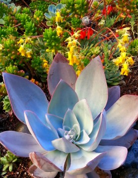 After the tour we added this gorgeous Echeveria cante 'White Cloud'. What a beaut!