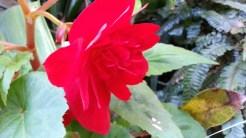 Begonia 'Illumination Scarlet'