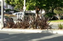 How NOT to prune phormium, as demonstrated by city workers along Divisadero.