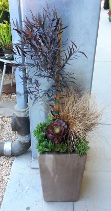 Hadn't done a composition planting at Flora Grubb Gardens in many a moon. Did this combo of Agonis flexuosa 'After Dark' (the tree) with a Carex flagellifera 'Bronzita' grass, and succulents Aeonium atropurpureum 'Pinwheel', Crassula corymbulosa, and Echeveria multicaulis.