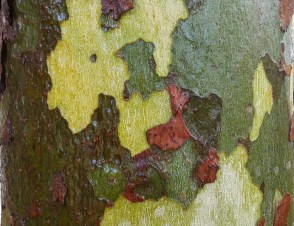 Wet bark of a sycamore, looking like camouflage fabric.