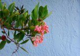 Strawberry tree (Arbutus) against a blue wall.