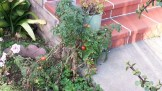 Tomatoes still growing on last year's vines. In January.