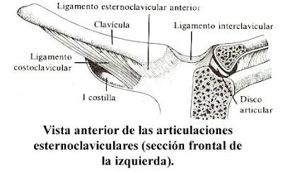 Estructura Y Descripci N De La Clavicula Franyeray