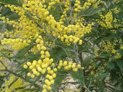 Un ramo di mimosa (Acacia dealbata), fiore che in molte culture è il simbolo della Festa della donna