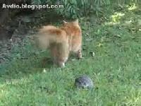 Tortoise Fuck Cat