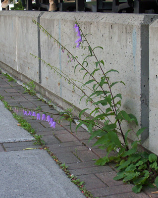Bluebells in concrete
