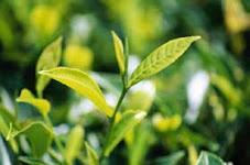 teh untuk menyembuhkan kanker