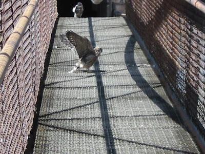 falcons lansing bwl
