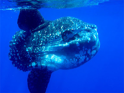 Giant Sunfish Mola Mola