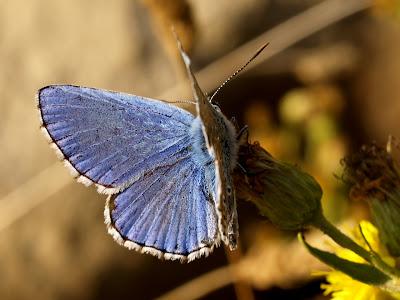 Papalloneta blava (Font: blocs.xtec.cat/faunaiflora)