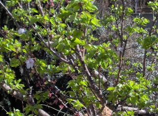 Groen appelkoosboom